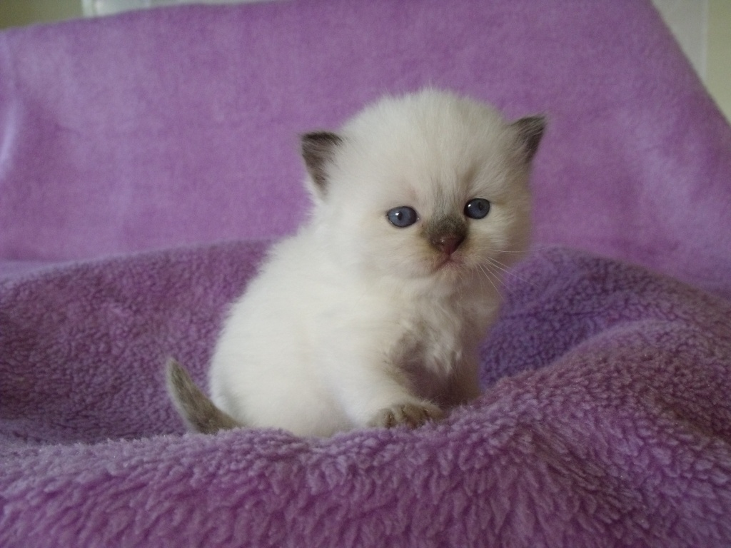 Blue Point Cat Kitten